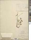 view Mimosa polyanthoides B.L. Rob. digital asset number 1