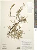 view Prosopis pallida (Humb. & Bonpl. ex Willd.) Kunth digital asset number 1