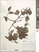 view Cynometra marginata Benth. digital asset number 1