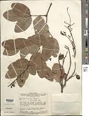 view Copaifera martii Hayne digital asset number 1