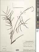 view Mimosa somnians Humb. & Bonpl. ex Willd. var. somnians digital asset number 1