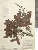 view Copaifera luetzelburgii Harms digital asset number 1