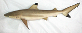 view Carcharhinus melanopterus digital asset number 1