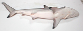 view Carcharhinus limbatus digital asset number 1