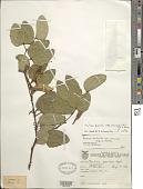 view Bauhinia forficata subsp. pruinosa digital asset number 1