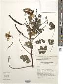 view Senna pendula var. tenuifolia (Benth.) H.S. Irwin & Barneby digital asset number 1