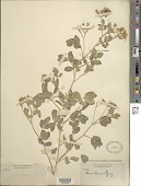 view Senna covesii (A. Gray) H.S. Irwin & Barneby digital asset number 1