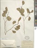 view Lysiphyllum hookeri (F. Muell.) Pedley digital asset number 1