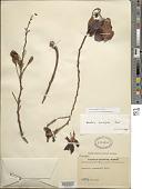 view Phanera semibifida Benth. digital asset number 1