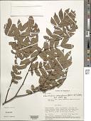 view Macrolobium colombianum var. colombianum digital asset number 1