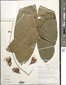 view Ecuadendron acosta-solisianum D.A. Neill digital asset number 1