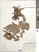 view Dialium guianense (Aubl.) Sandwith digital asset number 1