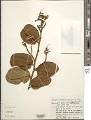 view Hymenaea aurea Y.T. Lee & Langenh. digital asset number 1