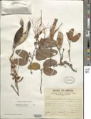 view Bauhinia cupulata Benth. digital asset number 1