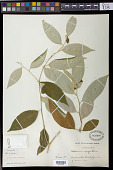 view Solanum argenteum Dunal digital asset number 1