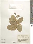 view Hymenaea stigonocarpa Mart. digital asset number 1