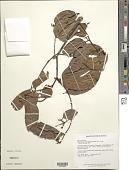 view Macrolobium angustifolium (Benth.) R.S. Cowan digital asset number 1