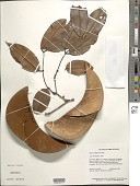 view Eperua rubiginosa Miq. var. rubiginosa digital asset number 1