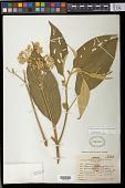 view Solanum granuloso-leprosum Dunal digital asset number 1