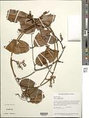 view Eperua rubiginosa Miq. digital asset number 1