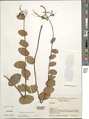 view Bauhinia viscidula digital asset number 1