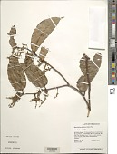 view Macrolobium bifolium (Aubl.) Pers. digital asset number 1
