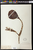 view Eichhornia azurea (Sw.) Kunth digital asset number 1