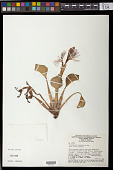 view Eichhornia crassipes (Mart.) Solms digital asset number 1