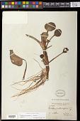 view Eichhornia heterosperma Alexander digital asset number 1