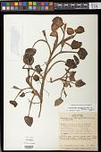 view Heteranthera oblongifolia Mart. digital asset number 1