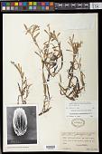 view Heteranthera zosterifolia Mart. digital asset number 1