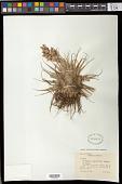 view Tillandsia geminiflora Brongn. digital asset number 1