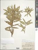 view Podocarpus oleifolius D. Don ex Lamb. digital asset number 1