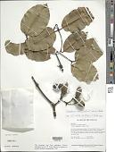 view Gnetum paniculatum Spruce ex Benth. digital asset number 1