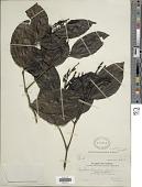 view Gnetum montanum Markgr. digital asset number 1