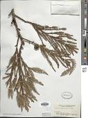 view Cryptomeria japonica (Thunb. ex L. f.) D. Don digital asset number 1