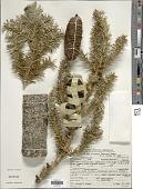 view Abies lasiocarpa var. arizonica (Merriam) Lemmon digital asset number 1
