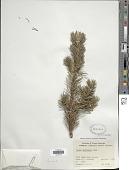 view Pinus banksiana Lamb. digital asset number 1