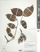 view Gnetum urens (Aubl.) Blume digital asset number 1