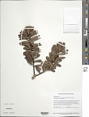 view Podocarpus steyermarkii J. Buchholz & N.E. Gray digital asset number 1