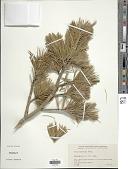 view Pinus monticola Douglas digital asset number 1
