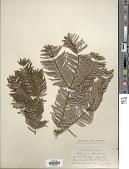 view Abies grandis (Douglas ex D. Don) Lindl. digital asset number 1