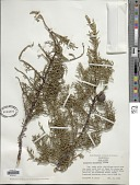 view Cupressus arizonica var. nevadensis (Abrams) Little digital asset number 1