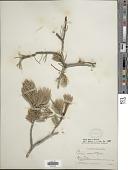 view Pinus edulis Engelm. digital asset number 1