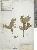 view Cephalotaxus drupacea Siebold & Zucc. digital asset number 1