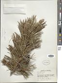 view Pinus contorta var. murrayana D. Don digital asset number 1