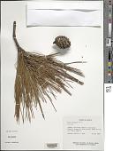 view Pinus lawsonii Roezl ex Gordon & Glend. digital asset number 1