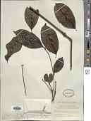 view Gnetum indicum (Lour.) Merr. digital asset number 1