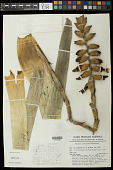 view Vriesea platynema Gaudich. digital asset number 1