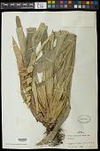 view Vriesea unilateralis (Baker) Mez digital asset number 1